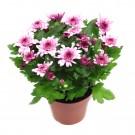 Planta exterior Chrysanthemum Aubisque Purple H 30 cm D 14 cm