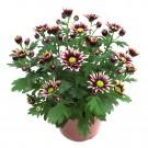 Planta exterior Chrysanthemum Little Rock H 30 cm D 14 cm