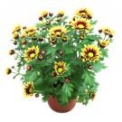 Planta exterior Chrysanthemum L Rock Festive H 30 D 14 cm
