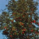 Arbust ornamental Scorus - Sorbus aucuparia, H 120+