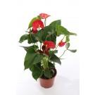 Planta interior Anthurium scherzerianum, floarea flamingo, H 45 cm, D 13 cm