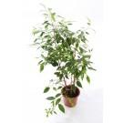 Planta interior Ficus mix H 45 cm D 14 cm