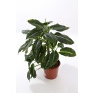 Planta interior Dieffenbachia H 80 cm D 24 cm