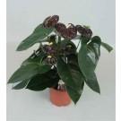 Planta interior Anthurium andreanum Black Queen, floarea flamingo, H 65 cm, D 17 cm