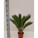 Planta interior Cycas revoluta H 50-60 cm D 17 cm