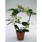 Planta interior Stephanotis floribunda, floarea de ceara, H 40 cm, D 12 cm