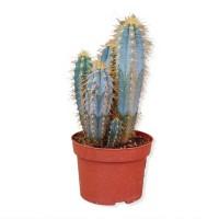 Planta interior - Cactus mix, D 17 cm, H 45 cm