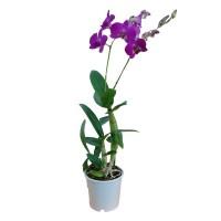 Planta interior Orhidee mix H 55 cm D 12 cm