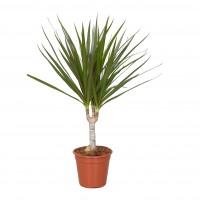Planta interior - Dracaena marginata H 45 cm D 12 cm