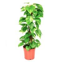 Planta interior - Epipremnum Mosstok, H 80 cm, D 19 cm