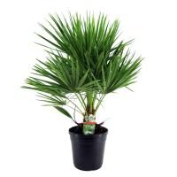 Planta interior - Chamaerops humilis, H 80 cm, D 21 cm