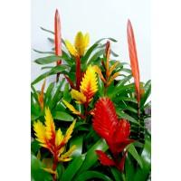 Planta interior Vriesea mix H 45 cm D 12 cm