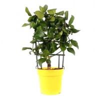 Planta interior Citrus Lemon, lamai, H 30 cm, D 12 cm