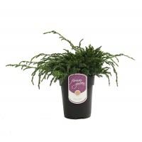 Arbore ornamental Juniperus Squamata blue carpet H 25 cm D 17 cm