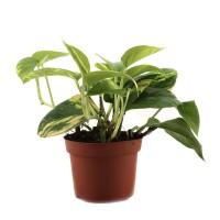 Planta interior - Epipremnum Aureum, H 20 cm, D 12 cm