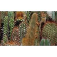 Planta interior Cactus mix D 5,5 cm