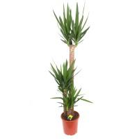 Planta interior - Yucca, H 165 cm, D 27 cm