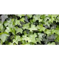 Planta exterior Hedera (iedera) mix H 20 cm D 13 cm