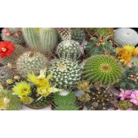 Planta interior - Cactus mix flowering, D 5.5 cm