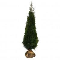 Arbore ornamental, Thuja occidentalis smaragd, H 175-200 cm