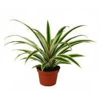 Ananas, H 45 cm, D 15 cm
