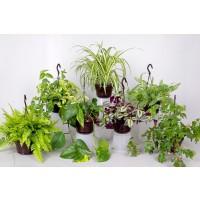 Planta interior - mix plante cu agatatori H 35 cm D 14 cm