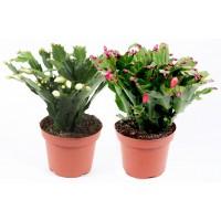 Planta interior Schlumbergera mix H 25 cm D 11 cm