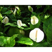 Planta interior Spathiphyllum sweet H 70 cm D 17 cm
