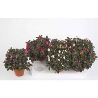Planta interior Azalea mix D 12 cm