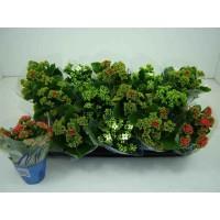 Planta interior, cu flori - Kalanchoe mix, D 9 cm