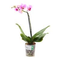 Planta interior Orhidee Phalaenopsis H 50-70 cm
