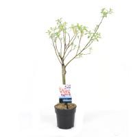 Arbore ornamental salcie - Salix mix, H 110 cm, D 19 cm