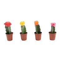 Planta interior - Cactus mix gymnocalycium, D 5.5 cm
