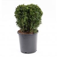Arbust ornamental Buxus sempervirens Ball, H 30 cm, D 19 cm