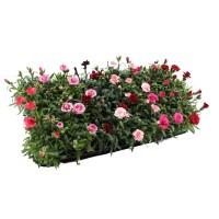 Plante de gradina, garofite - Dianthus mix, H 15 cm, D 9 cm