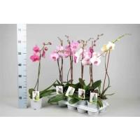 Planta interior, cu flori - Orhidee phalaenopsis, H 55 cm D 12 cm