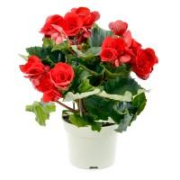 Planta interior Begonia Baladin, H 35 cm, D 14 cm