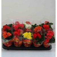 Planta interior Begonia mix H 15 cm D 9 cm
