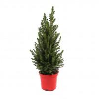 Arbore ornamental Picea glauca conica H 55 cm D 17 cm