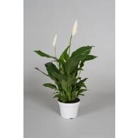 Planta interior Spathiphyllum H 50 cm D 13 cm