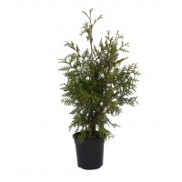 Arbore ornamental Thuja occidentalis brabant, H 40 - 60 cm