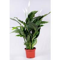 Planta interior Spathiphyllum H 40 cm D 13 cm