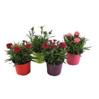 Plante de gradina, cu flori, garofite - Dianthus mix, H 30 cm, D 15 cm