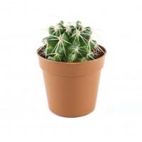 Planta interior - Echinocactus Grusoni (cactus), D 5.5 cm