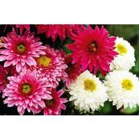 Planta exterior Crizantema 5 pp Capitola mix H 30 cm D 14 cm