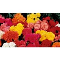 Planta interior Begonia mix H 45 cm D 17 cm