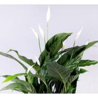 Planta interior Spathiphyllum H 30 cm D 9 cm