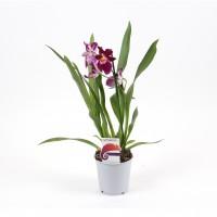Planta interior Orhidee Miltonia, H 45 cm, D 12 cm