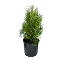 Arbore ornamental Thuja occidentalis smaragd H 50 cm, D 17 cm