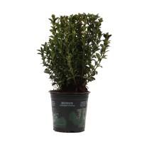 Arbust ornamental Buxus sempervirens, H 35 cm, D 13 cm